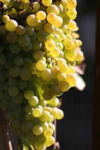 Vina i vinari Lumbarde